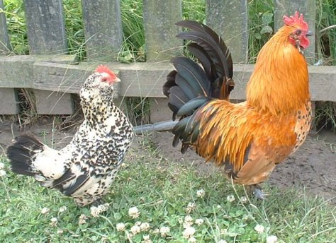 Lib Dem Chickens